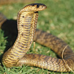 Egyptian Cobra 150x150