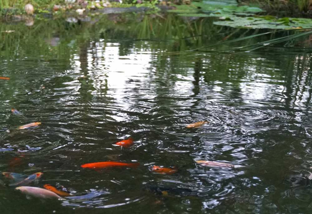 Walk on the wild side savvy spice for Wild koi fish